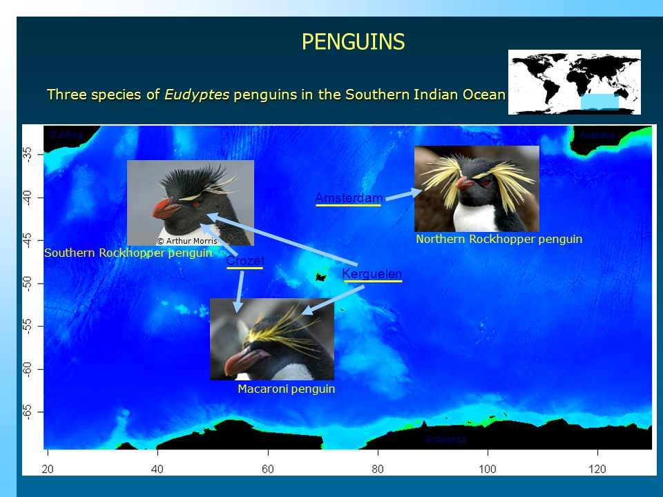 Three species of Eudyptes penguins in the Southern Indian Ocean Amsterdam Crozet Kerguelen Australia Antarctica S.Africa Macaroni penguin Southern Rockhopper penguin Northern Rockhopper penguin © Arthur Morris PENGUINS
