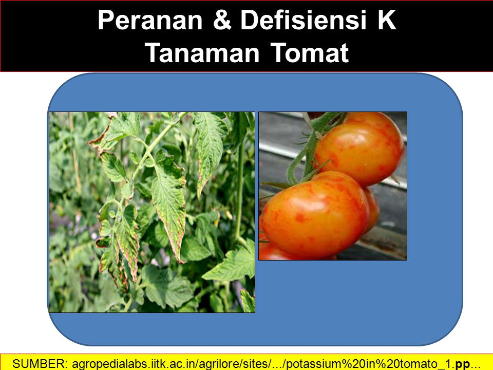 Pendahuluan  Potassium is used in carbohydrate metabolism and increases water-use efficiency  It is essential for protein synthesis and activates enzymes and controls their reaction rates  It promotes flower and fruit production and is vital for maintaining growth and helping plants resist diseases  K management should be considered part of long-term soil fertility management because K is not easily lost from or added to the root zone SUMBER: agropedialabs.iitk.ac.in/agrilore/sites/.../potassium%20in%20tomato_1.pp... Peranan & Defisiensi K dalam Tomat