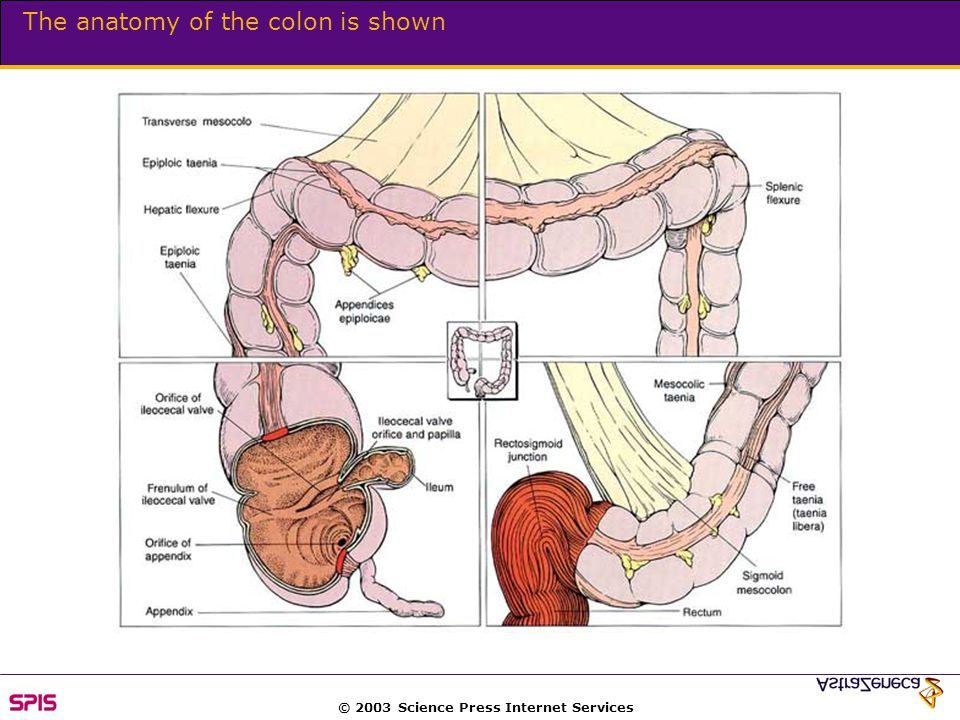 © 2003 Science Press Internet Services The anatomy of the colon is shown