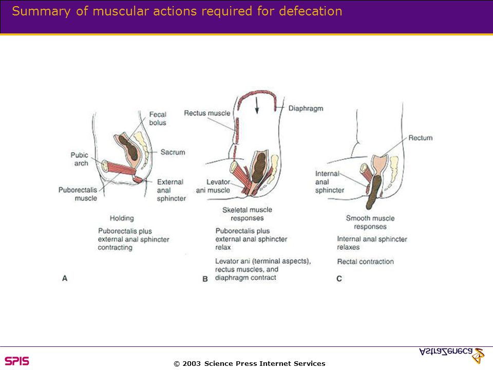 © 2003 Science Press Internet Services Summary of muscular actions required for defecation