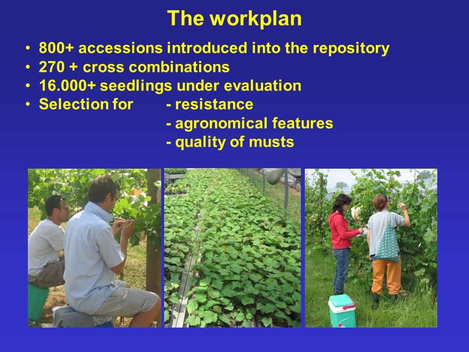 The workplan 800+ accessions introduced into the repository 270 + cross combinations 16.000+ seedlings under evaluation Selection for - resistance - agronomical features - quality of musts