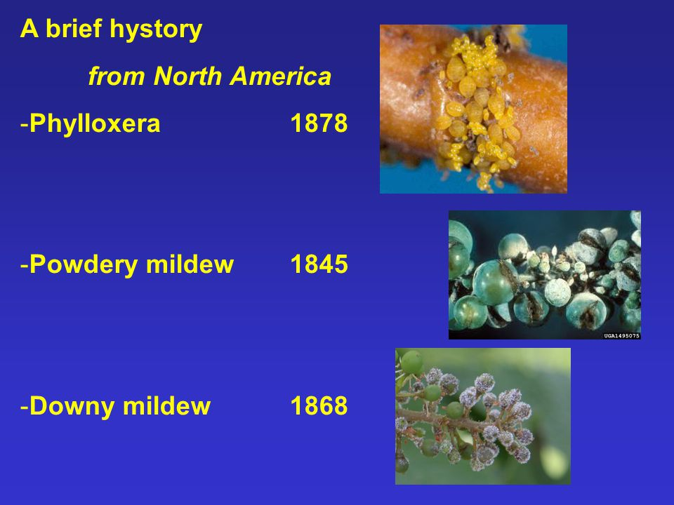 A brief hystory from North America -Phylloxera 1878 -Powdery mildew 1845 -Downy mildew 1868