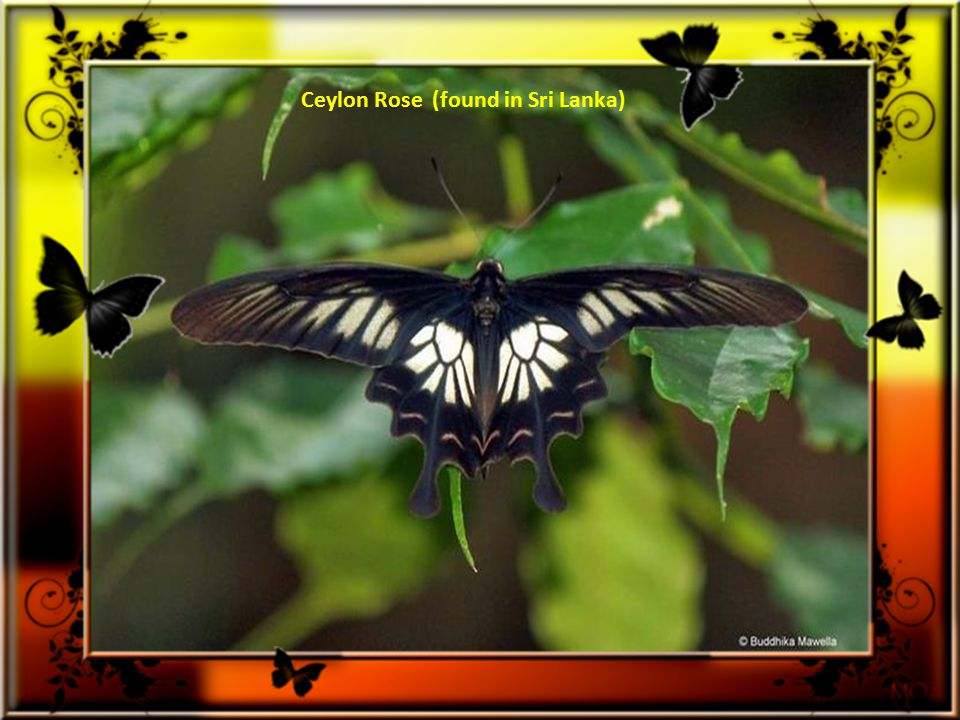 Luzon Peacock Swallowtail (discovered in Philippines) )
