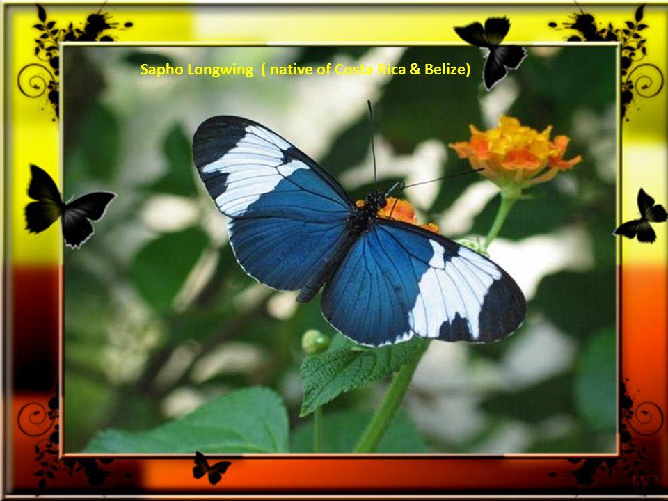 Les papillons vus ici sont extrêmement rares et placés au sommet de la liste des espèces menacées.