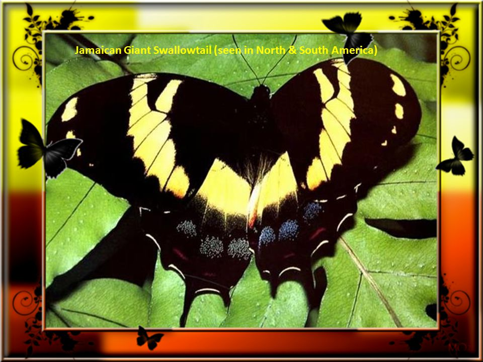 Sapho Longwing ( native of Costa Rica & Belize)