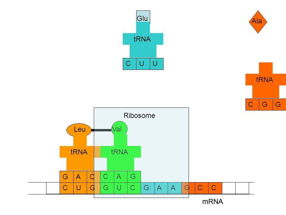 mRNA CCAAGGUCGCUG Ala Glu GCG tRNA UCU Val GCA tRNA Leu CGA tRNA mRNA Ribosome