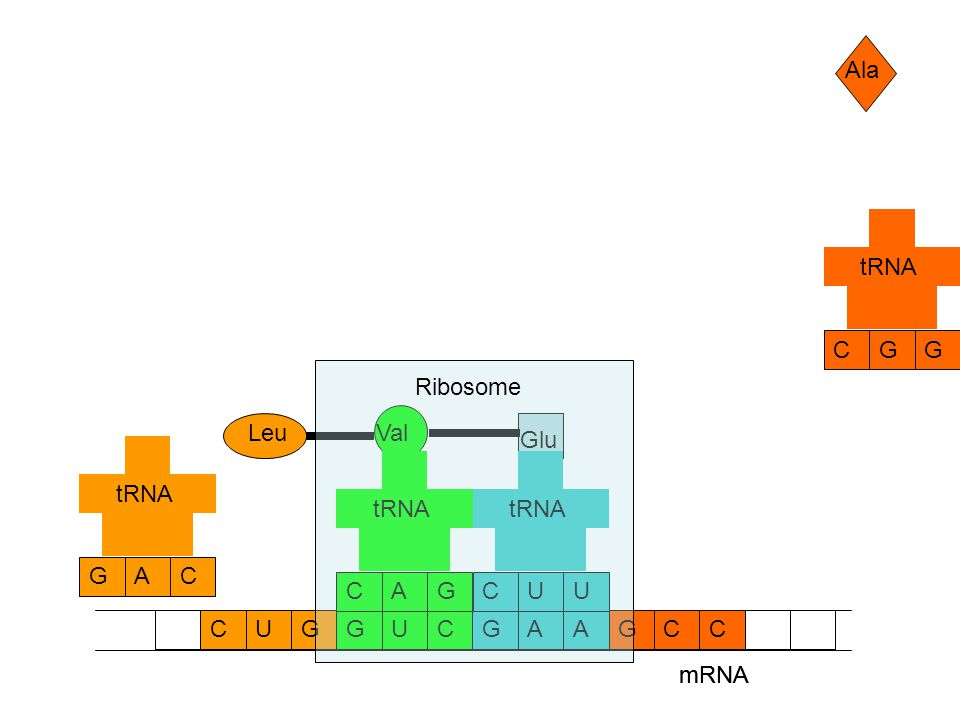 mRNA CCAAGGUCGCUG Ala GCG tRNA Glu UCU tRNA Val GCA tRNA Leu CGA tRNA mRNA Ribosome