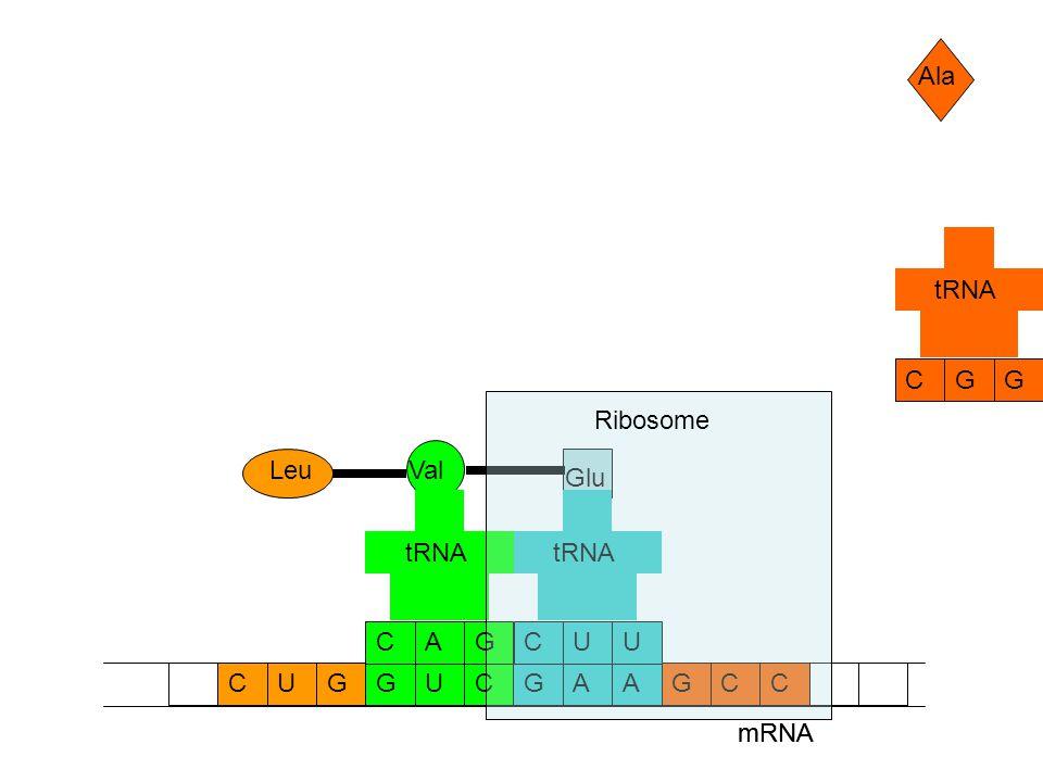 mRNA CCAAGGUCGCUG Ala GCG tRNA Glu UCU tRNA Val GCA tRNA Leu mRNA Ribosome