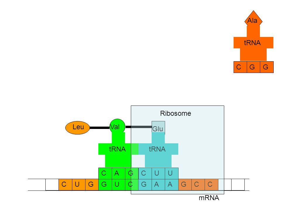 mRNA CCAAGGUCGCUG Ala GCG tRNA Glu UCU tRNA Val GCA tRNA Leu Ribosome