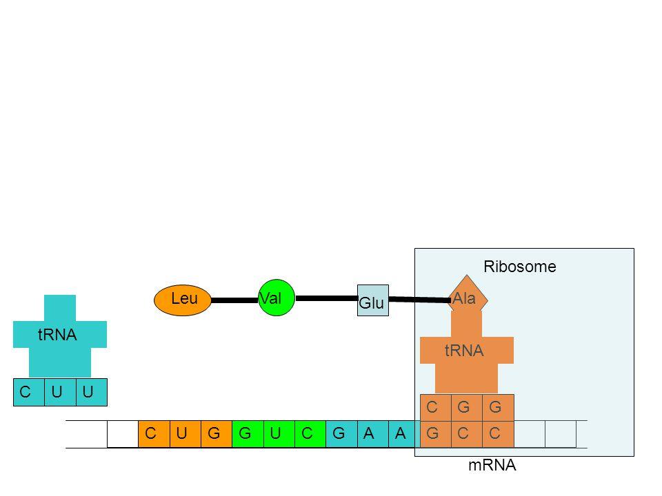 mRNA CCAAGGUCGCUG Ala GCG tRNA Glu UCU tRNA Val Leu Ribosome