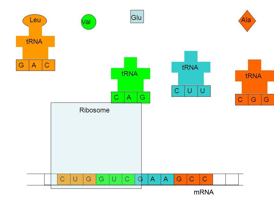 mRNA CCAAGGUCGCUG Ala Glu Val Leu GCG tRNA UCU GCA CGA mRNA Ribosome