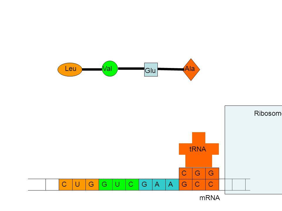 mRNA CCAAGGUCGCUG GCG tRNA Ribosome Ala Glu ValLeu