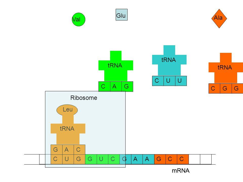 mRNA CCAAGGUCGCUG Ala Glu Val GCG tRNA UCU GCA Leu CGA tRNA mRNA Ribosome