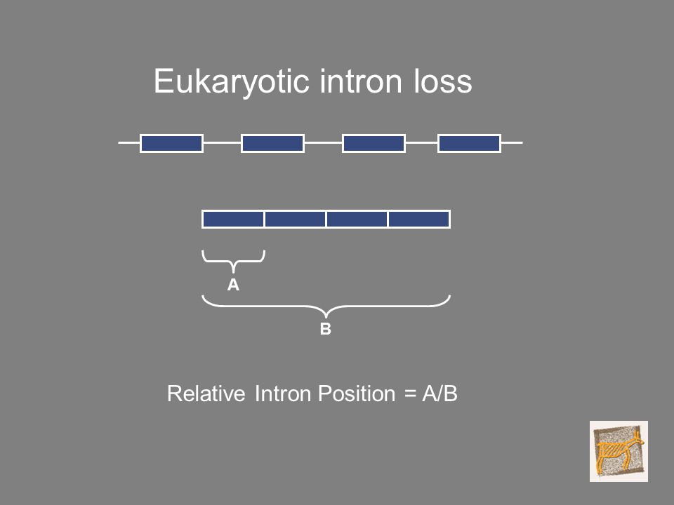 Eukaryotic intron loss A B Relative Intron Position = A/B