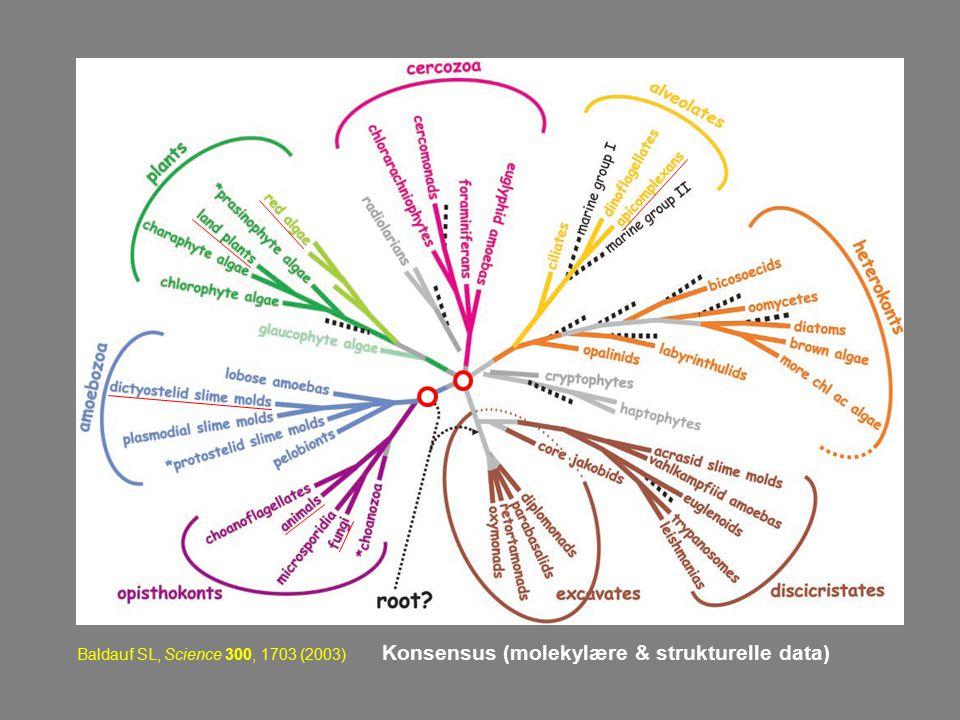 Baldauf SL, Science 300, 1703 (2003) Konsensus (molekylære & strukturelle data)