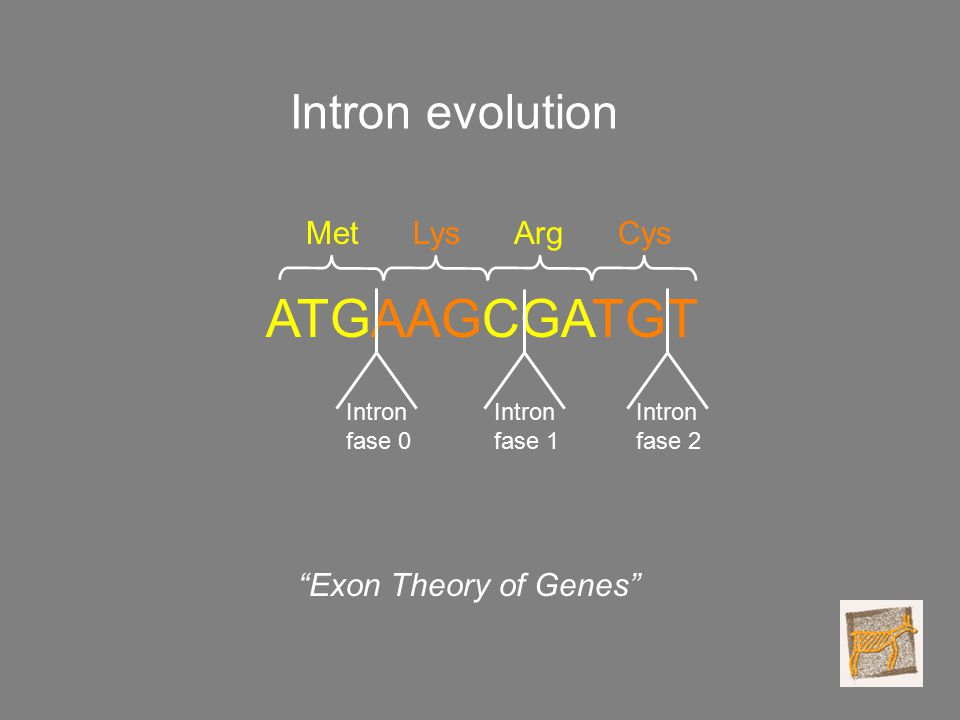 ATGAAGCGATGT MetLysArgCys Intron fase 0 Intron fase 1 Intron fase 2 Exon Theory of Genes