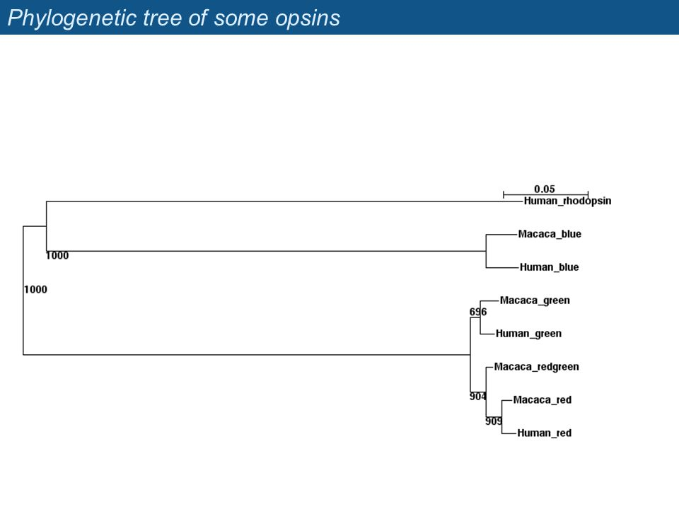 Phylogenetic tree of some opsins