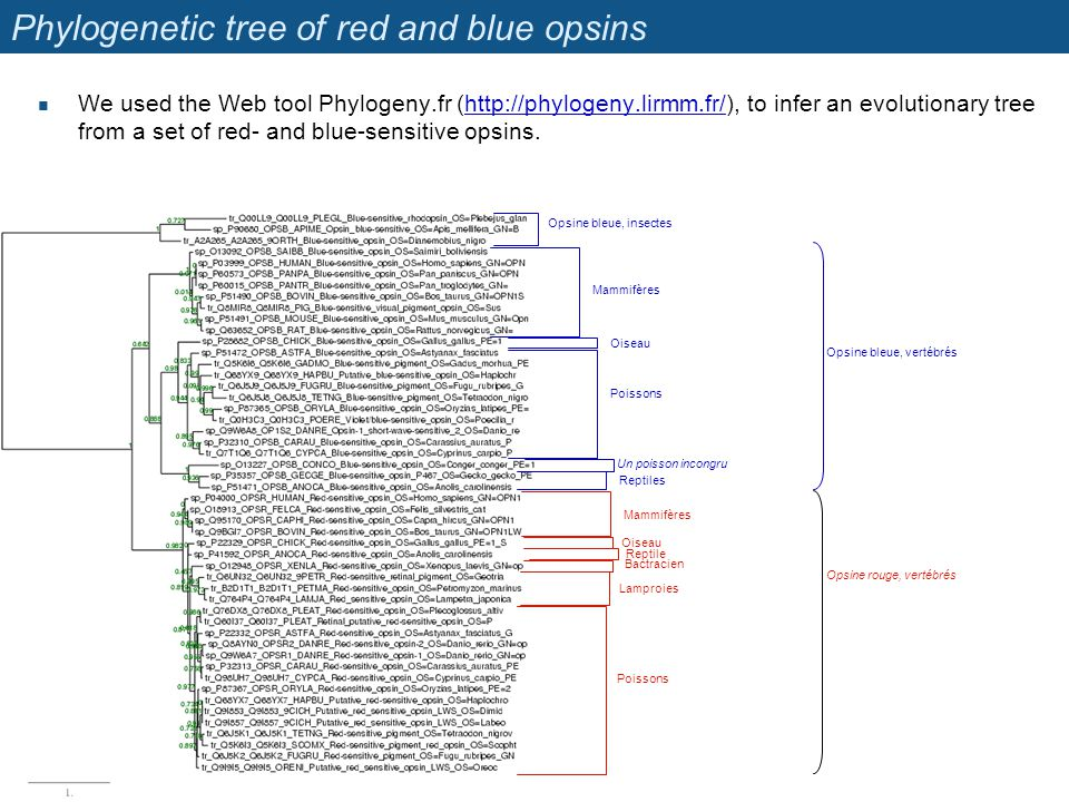 Phylogenetic tree of red and blue opsins We used the Web tool Phylogeny.fr (http://phylogeny.lirmm.fr/), to infer an evolutionary tree from a set of red- and blue-sensitive opsins.http://phylogeny.lirmm.fr/ Opsine bleue, insectes Opsine bleue, vertébrés Opsine rouge, vertébrés Mammifères Oiseau Poissons Un poisson incongru Reptiles Mammifères Oiseau Bactracien Reptile Lamproies Poissons