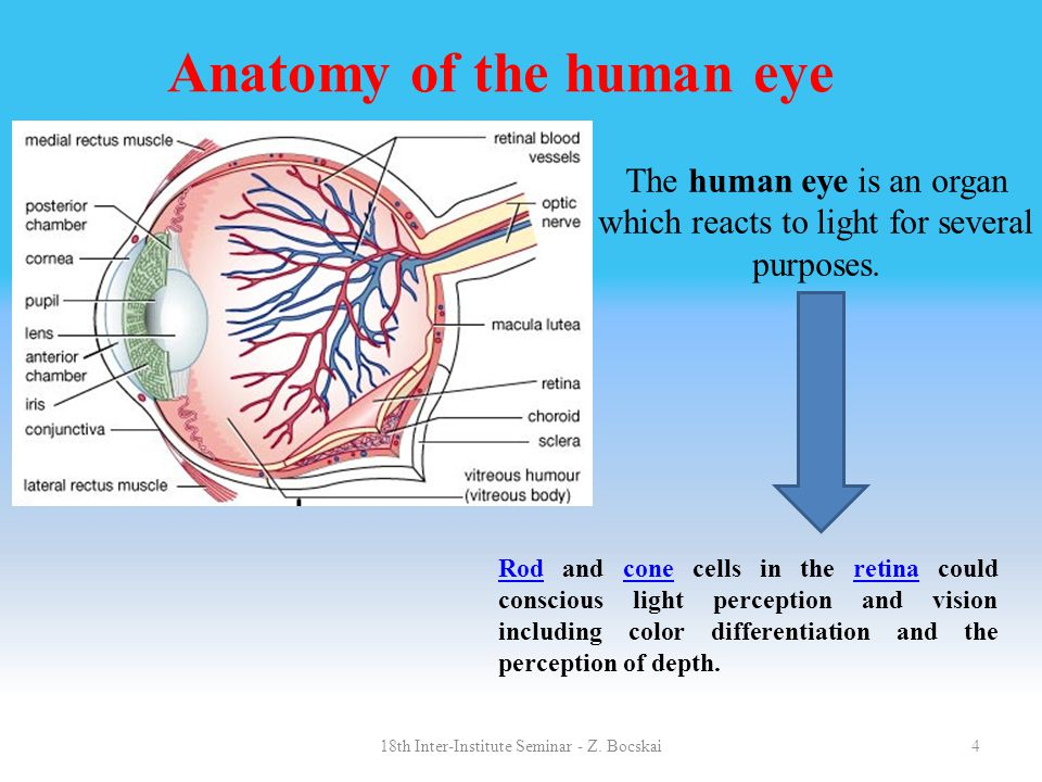 4 Anatomy of the human eye The human eye is an organ which reacts to light for several purposes. RodRod and cone cells in the retina could conscious l
