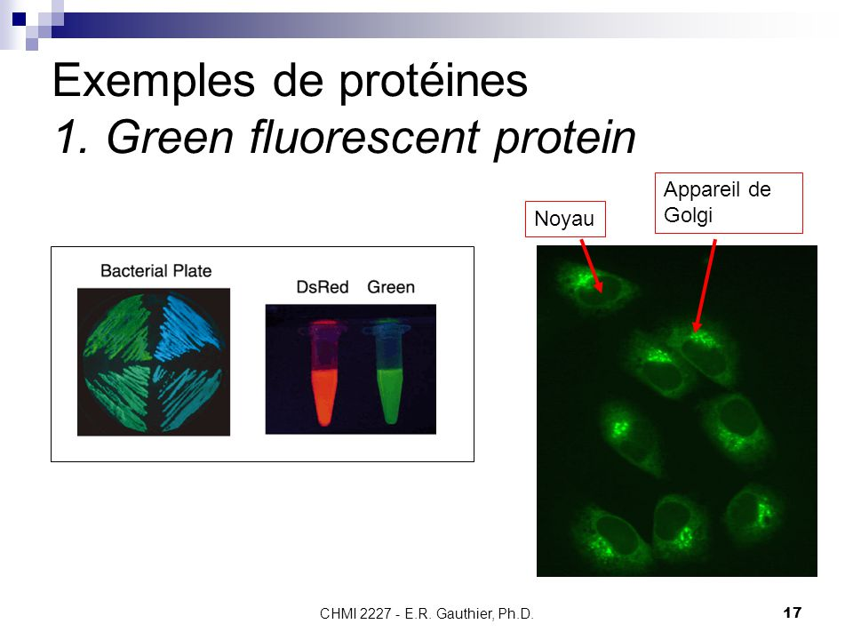 CHMI 2227 - E.R. Gauthier, Ph.D.17 Exemples de protéines 1.