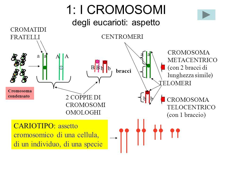 1: I CROMOSOMI degli eucarioti: aspetto CROMOSOMA METACENTRICO (con 2 bracci di lunghezza simile) A A a b B 2 COPPIE DI CROMOSOMI OMOLOGHI CROMATIDI F