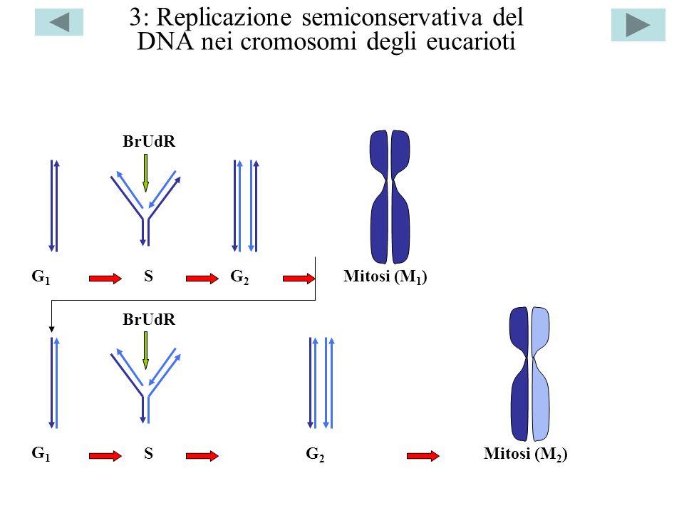 3: Replicazione semiconservativa del DNA nei cromosomi degli eucarioti G1G1 S BrUdR G2G2 Mitosi (M 1 ) G1G1 S BrUdR G2G2 Mitosi (M 2 )