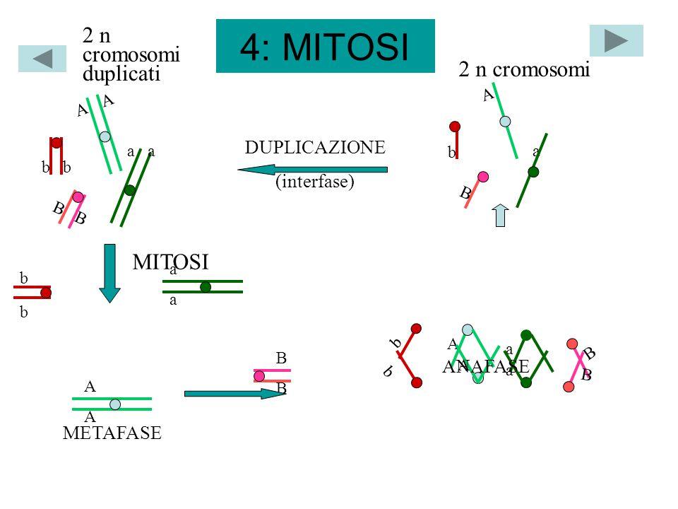 5: MEIOSI A a a b B b b B CROSSING OVER AA AA BbBb aaaa BbBb a AA CHIASMI APPAIAMENTO 2 n cromosomi duplicati a A A b B n bivalenti ANAFASE 1 GAMETI a B aB a b ab A b Ab A B AB n cromosomi duplicati ANAFASE 2 n cromosomi