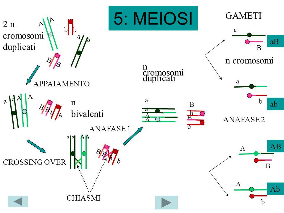 5: MEIOSI A a a b B b b B CROSSING OVER AA AA BbBb aaaa BbBb a AA CHIASMI APPAIAMENTO 2 n cromosomi duplicati a A A b B n bivalenti ANAFASE 1 GAMETI a