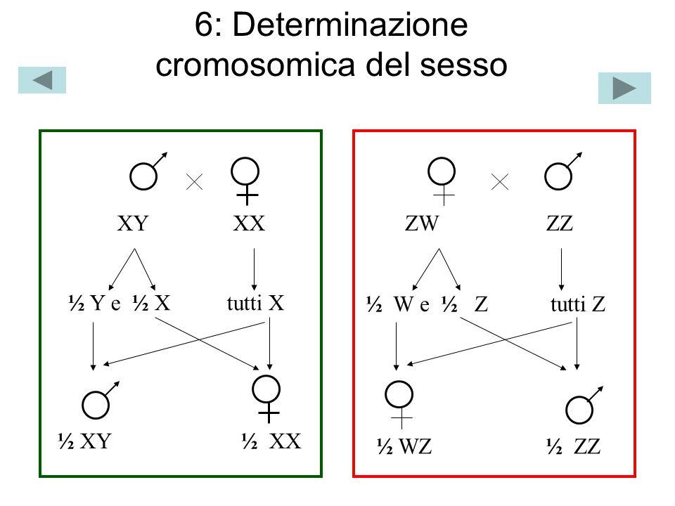 7: SEGREGAZIONE INDIPENDENTE DI CROMOSOMI MARCATORI IN MEIOSI 50%