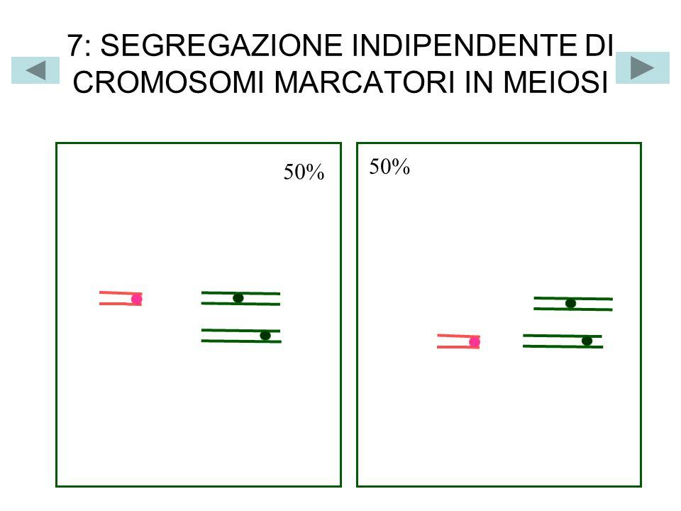 8: SEGREGAZIONE INDIPENDENTE DEI CROMOSOMI IN MEIOSI n cromosomi duplicati aaaa bbbb aaaa BBBB BBBB AA AA AA AA bbbb ANAFASE 2 GAMETI a b ab a b A B AB A B n cromosomi a B aB a B A b Ab A b GAMETI ANAFASE 2 n cromosomi