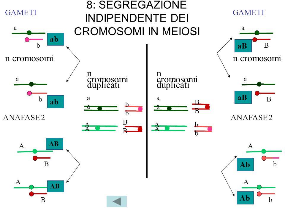 8: SEGREGAZIONE INDIPENDENTE DEI CROMOSOMI IN MEIOSI n cromosomi duplicati aaaa bbbb aaaa BBBB BBBB AA AA AA AA bbbb ANAFASE 2 GAMETI a b ab a b A B A