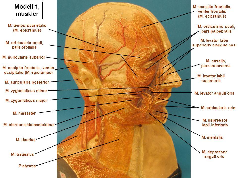 Modell 1, muskler M. occipito-frontalis, venter occipitalis (M. epicranius) M. auricularis superior M. temporoparietalis (M. epicranius) M. auriculari