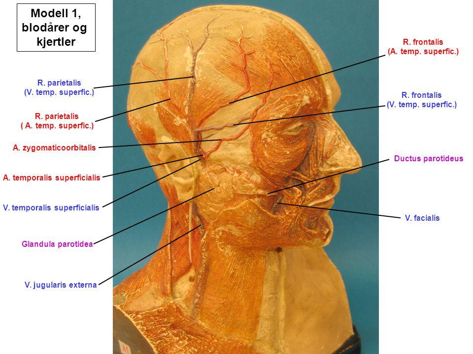V. jugularis externa V. facialis V. temporalis superficialis A. temporalis superficialis A. zygomaticoorbitalis Glandula parotidea Ductus parotideus R