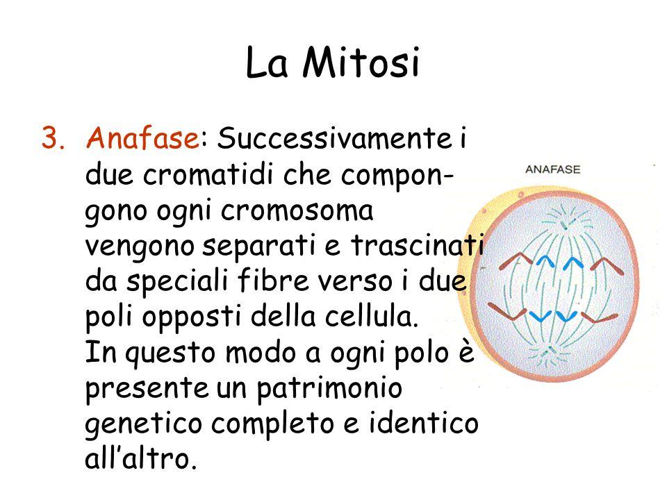 La Mitosi 3.Anafase: Successivamente i due cromatidi che compon- gono ogni cromosoma vengono separati e trascinati da speciali fibre verso i due poli opposti della cellula.