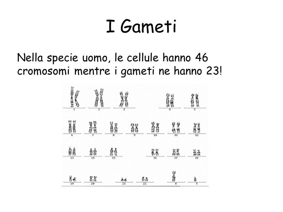 I Gameti Nella specie uomo, le cellule hanno 46 cromosomi mentre i gameti ne hanno 23!
