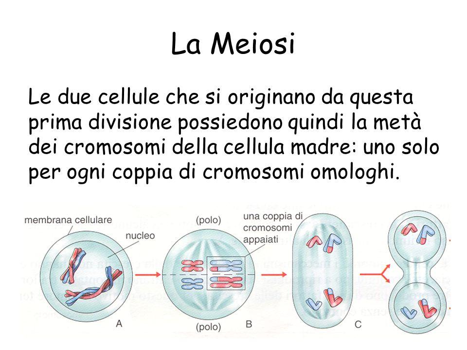 La Meiosi Le due cellule che si originano da questa prima divisione possiedono quindi la metà dei cromosomi della cellula madre: uno solo per ogni coppia di cromosomi omologhi.