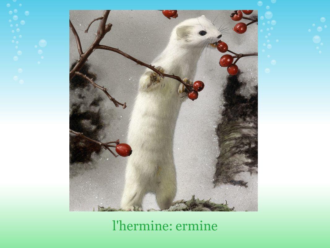 l hermine: ermine