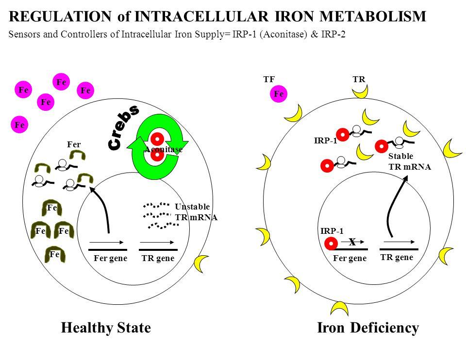 Fe Aconitase TR geneFer gene Fe x TFTR IRP-1 Fer gene TR gene IRP-1 REGULATION of INTRACELLULAR IRON METABOLISM Healthy StateIron Deficiency Sensors a