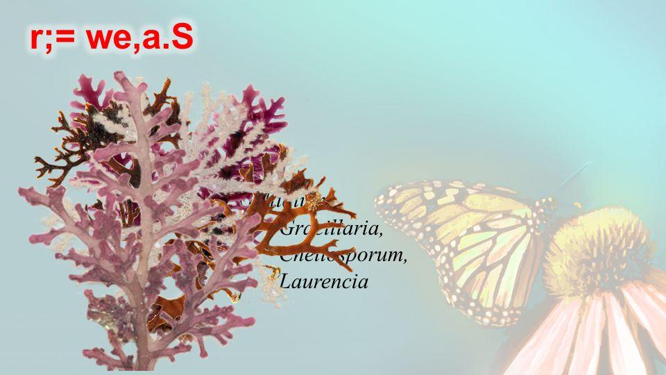 Gellidium, Gracillaria, Cheilosporum, Laurencia