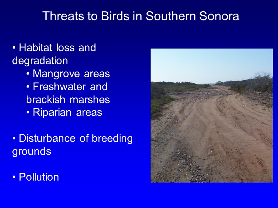 Threats to Birds in Southern Sonora Habitat loss and degradation Mangrove areas Freshwater and brackish marshes Riparian areas Disturbance of breeding grounds Pollution
