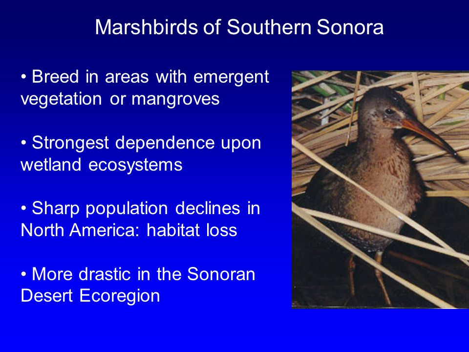 Marshbirds of Southern Sonora Breed in areas with emergent vegetation or mangroves Strongest dependence upon wetland ecosystems Sharp population declines in North America: habitat loss More drastic in the Sonoran Desert Ecoregion
