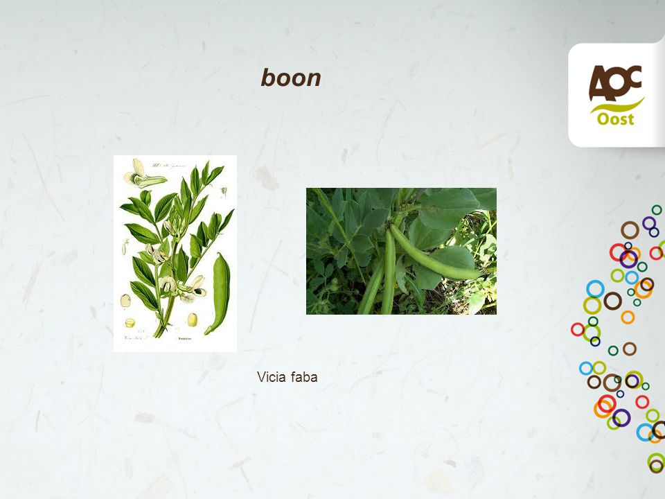 boon Vicia faba
