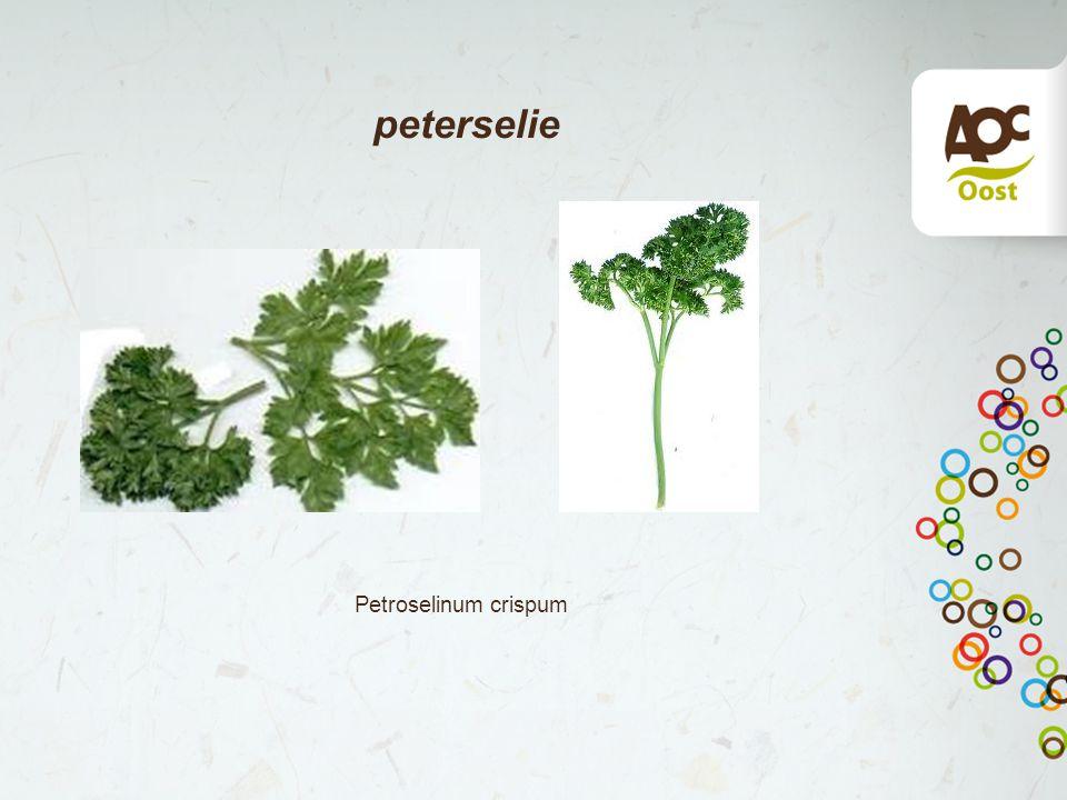 peterselie Petroselinum crispum
