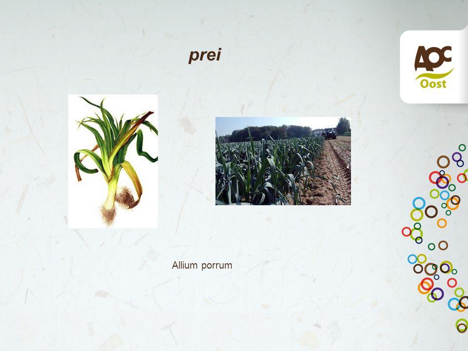 prei Allium porrum