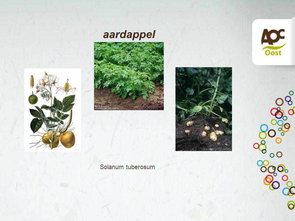 aardappel Solanum tuberosum