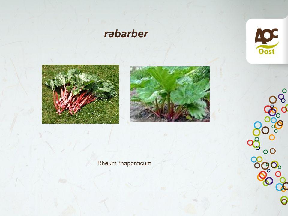 rabarber Rheum rhaponticum