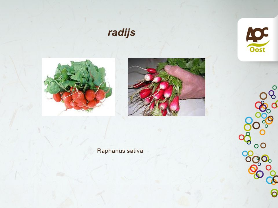 radijs Raphanus sativa