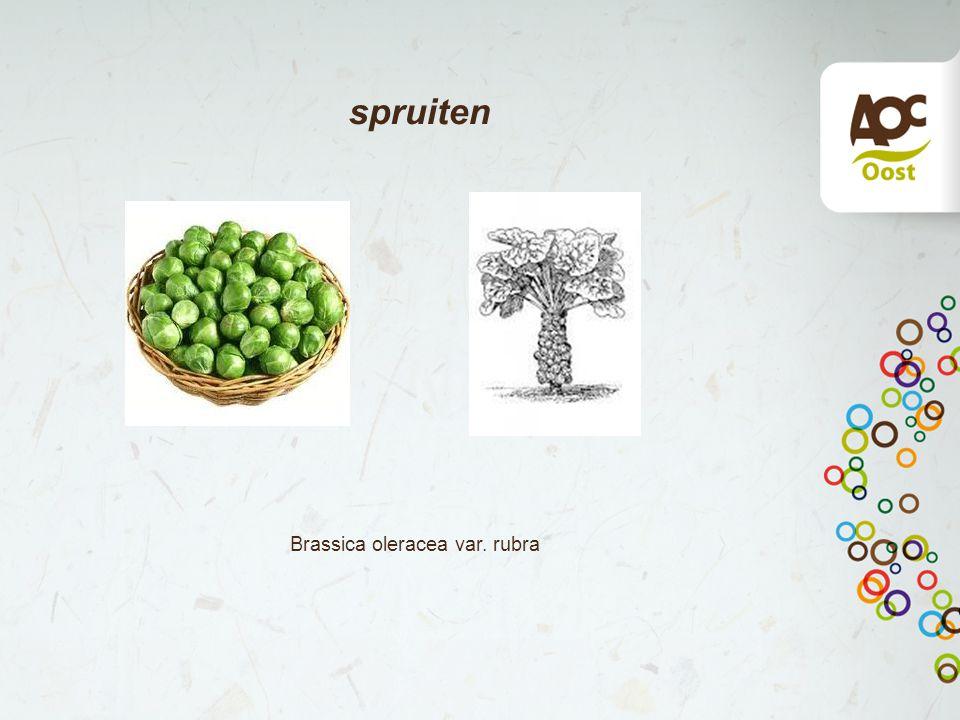 spruiten Brassica oleracea var. rubra