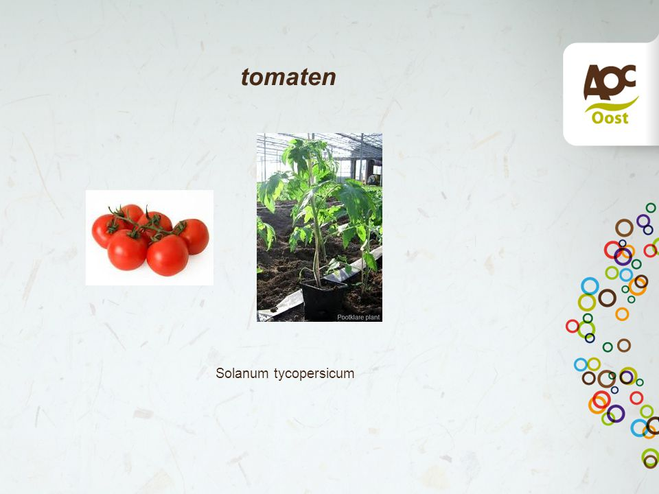 tomaten Solanum tycopersicum