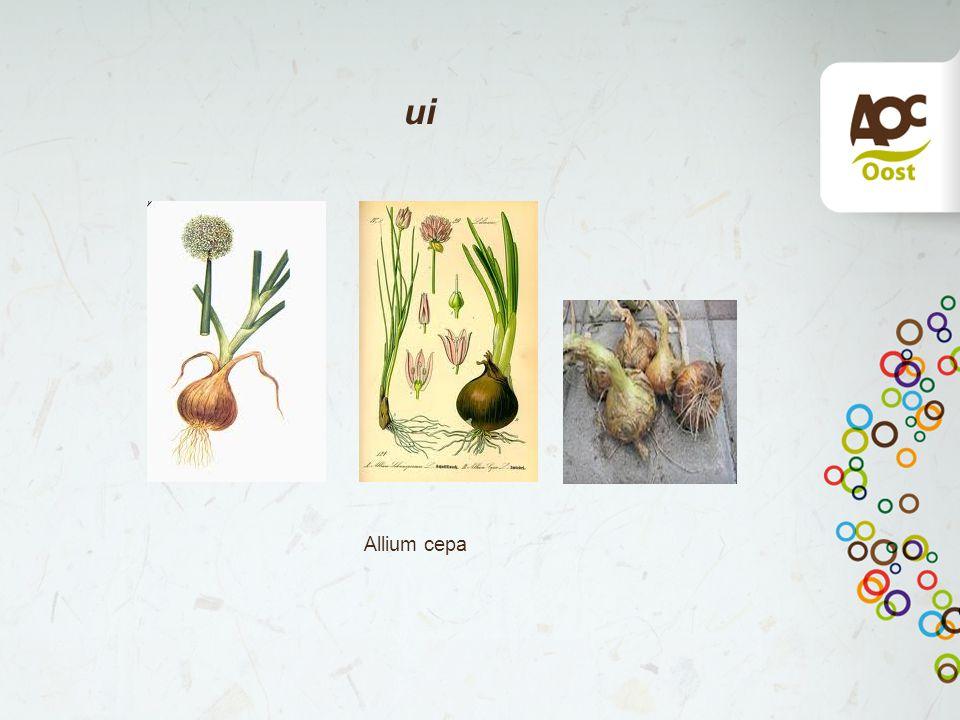 ui Allium cepa
